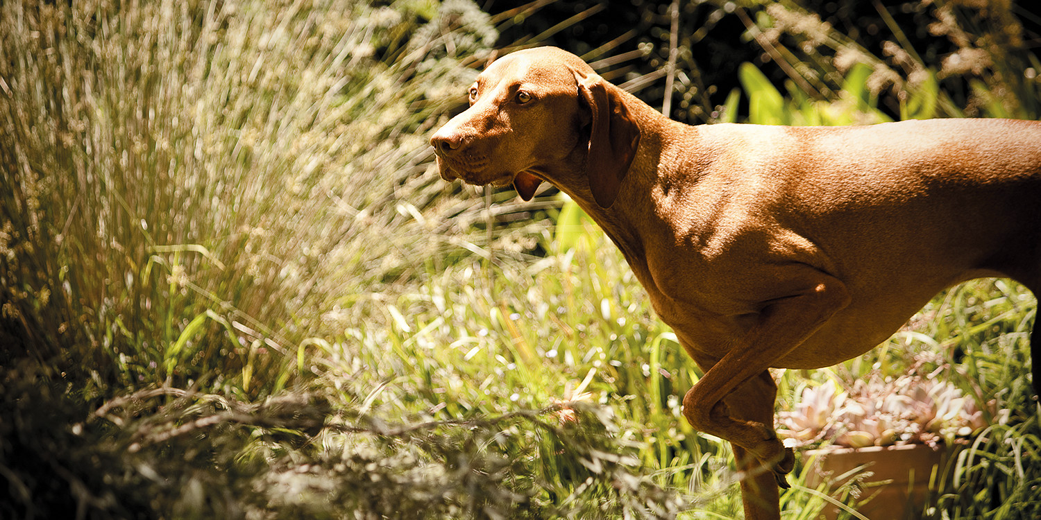 What Is A Vizsla Hungarian Club Of NSW